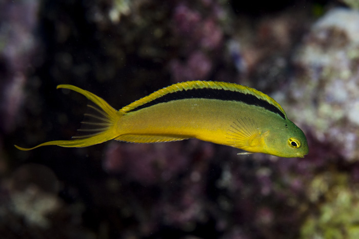 Tonga fangtooth blenny, endemic to the islands of Tonga.