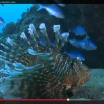 Zebra lionfish - a new record for the Kermadec Islands discovered in 2011