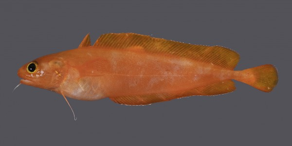 Bright orange Lotella cod - one of the new species finds from the Kermadecs expedition