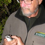Chris and Mark were amazed to find at least 50 pairs of Kermadec Little Shearwaters at Wilson's Point.